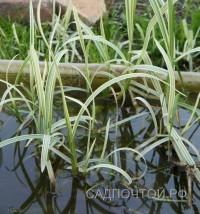 """Манник водный, пестролистный, """"Variegata"""", 3 растения"""