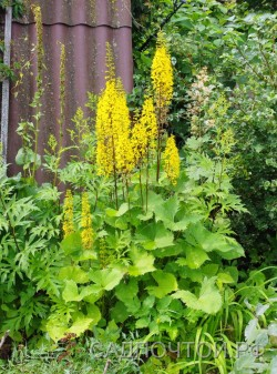 "Бузульник узкоголовчатый ""Ракета"", Ligularia stenocephala «The Rocket»"