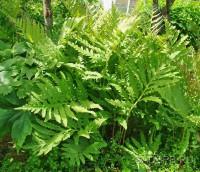Оноклея чувствительная, Onoclea sensibilis, набор из 3 растений