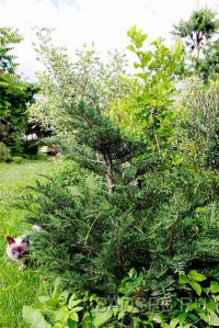 Кипарисовик Лавсона, устойчивая форма, набор из 3 растений