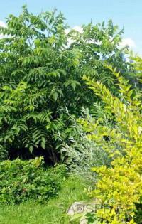 Орех серый, Juglans cinerea, сеянцы из местных семян, набор из 3 растений