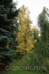 Багрянник величественный, набор из 3 растений