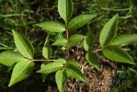 Бархат японский, набор из 3 растений